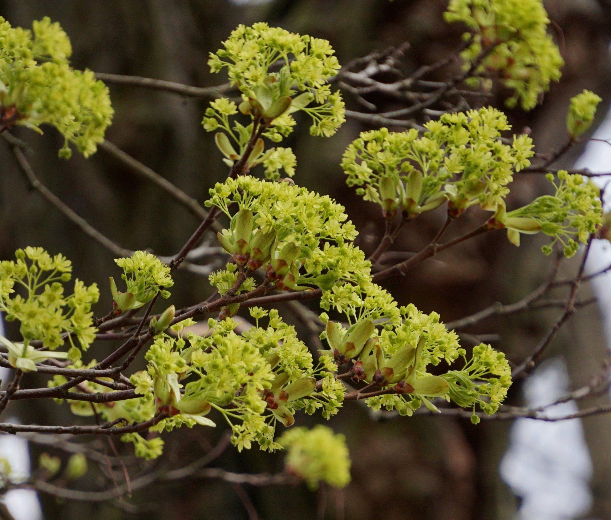 Das Bild zeigt die bereits in der ersten April-Hälfte aus den Knospen brechenden Blütenrispen des Spitz-Ahorns. Es ist das erste wirkliche Grün, was sich in Baumkronen winterkahler Laubgehölze ausmachen lässt. Der früher blühende Silber-Ahorn zeigt rötliche und blassgrüne Blütenfarben.
