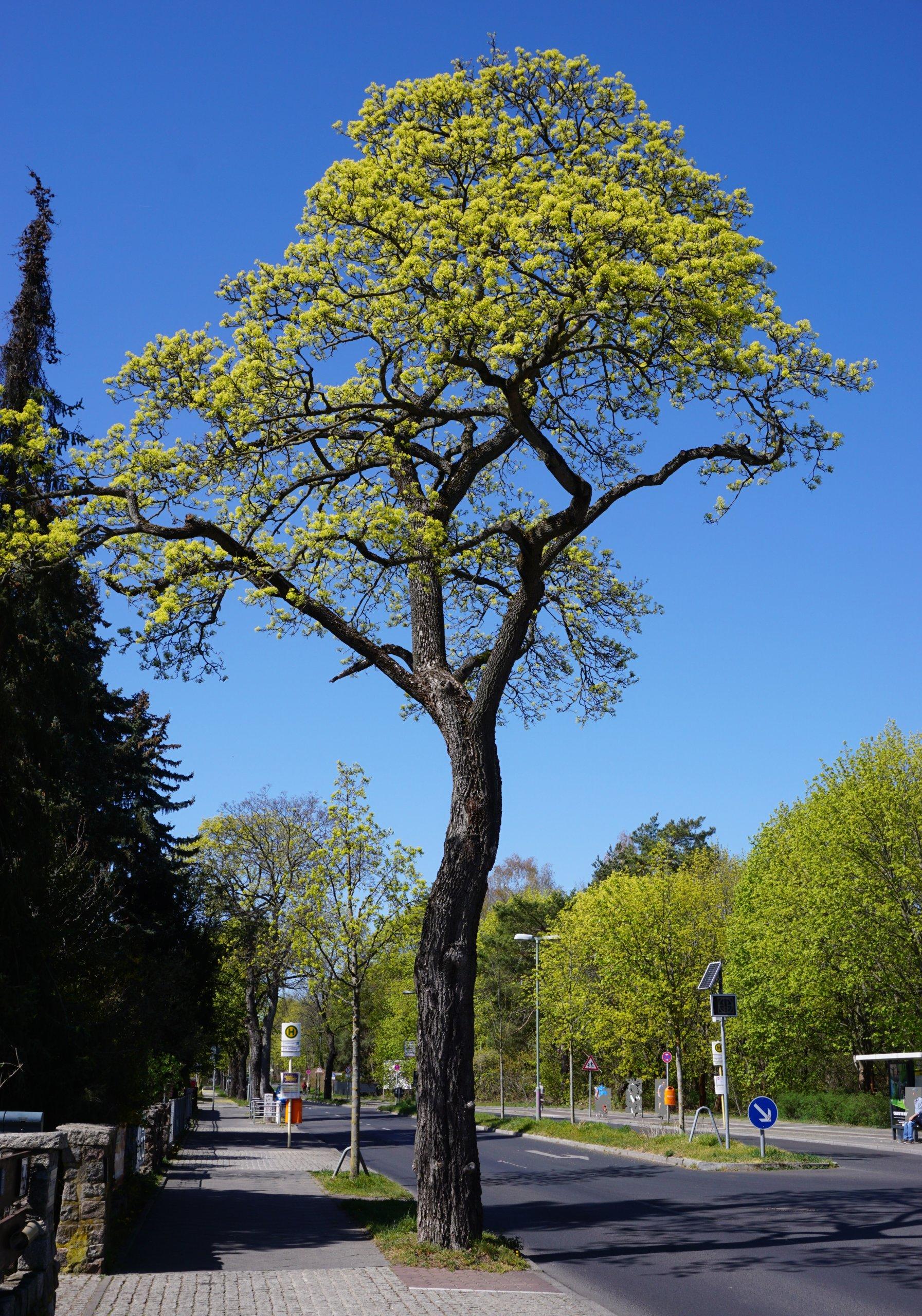 Das Bild zeigt ein knorriges, schon älteres Exemplar eines Spitz-Ahorns als Straßenbaum am Müggelheimer Damm zur Blütezeit, April 2020.