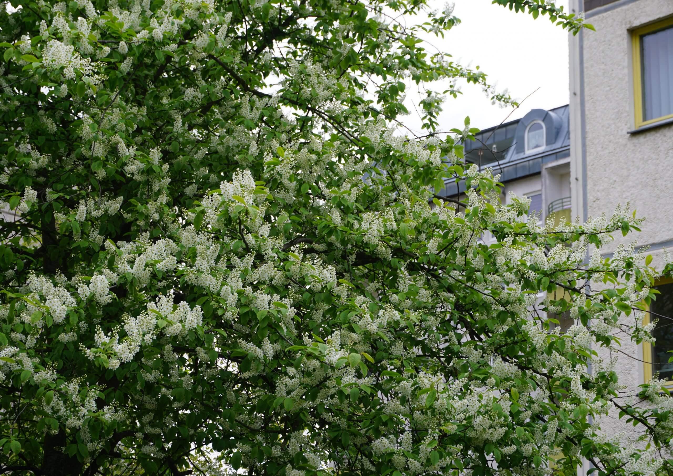 Das Bild zeigt die mit geöffneten Blütentrauben behangene Krone einer Gewöhnlichen Traubenkirsche am Bürgerhaus im Kosmosviertel Anfang Mai 2021.