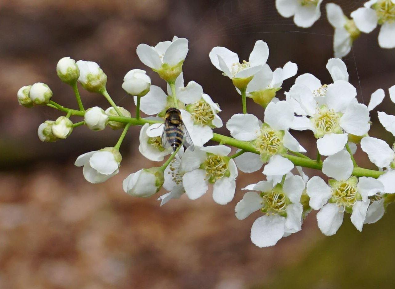 Das Bild zeigt eine Schwebfliege an den Blüten der Gewöhnlichen Traubenkirsche. Hier zu Mai-Beginn 2021 am Schmetterlingshorst im Müggelwald.