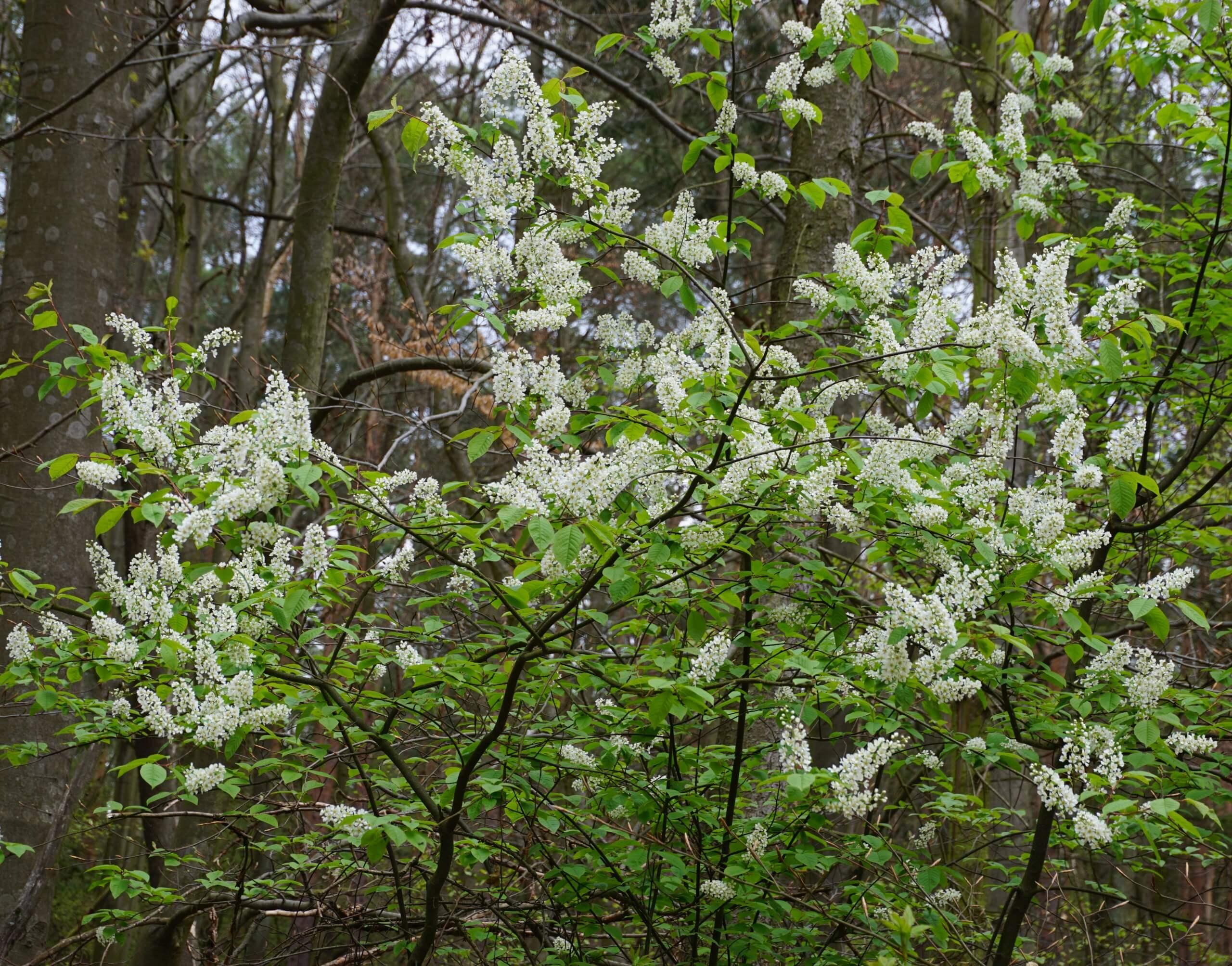 Das Bild zeigt einen in voller Blüte stehenden Strauch einer Gewöhnlichen Traubenkirsche zu Mai-Beginn am Schmetterlingshorst im Müggelwald. Hier im Jahr 2021.