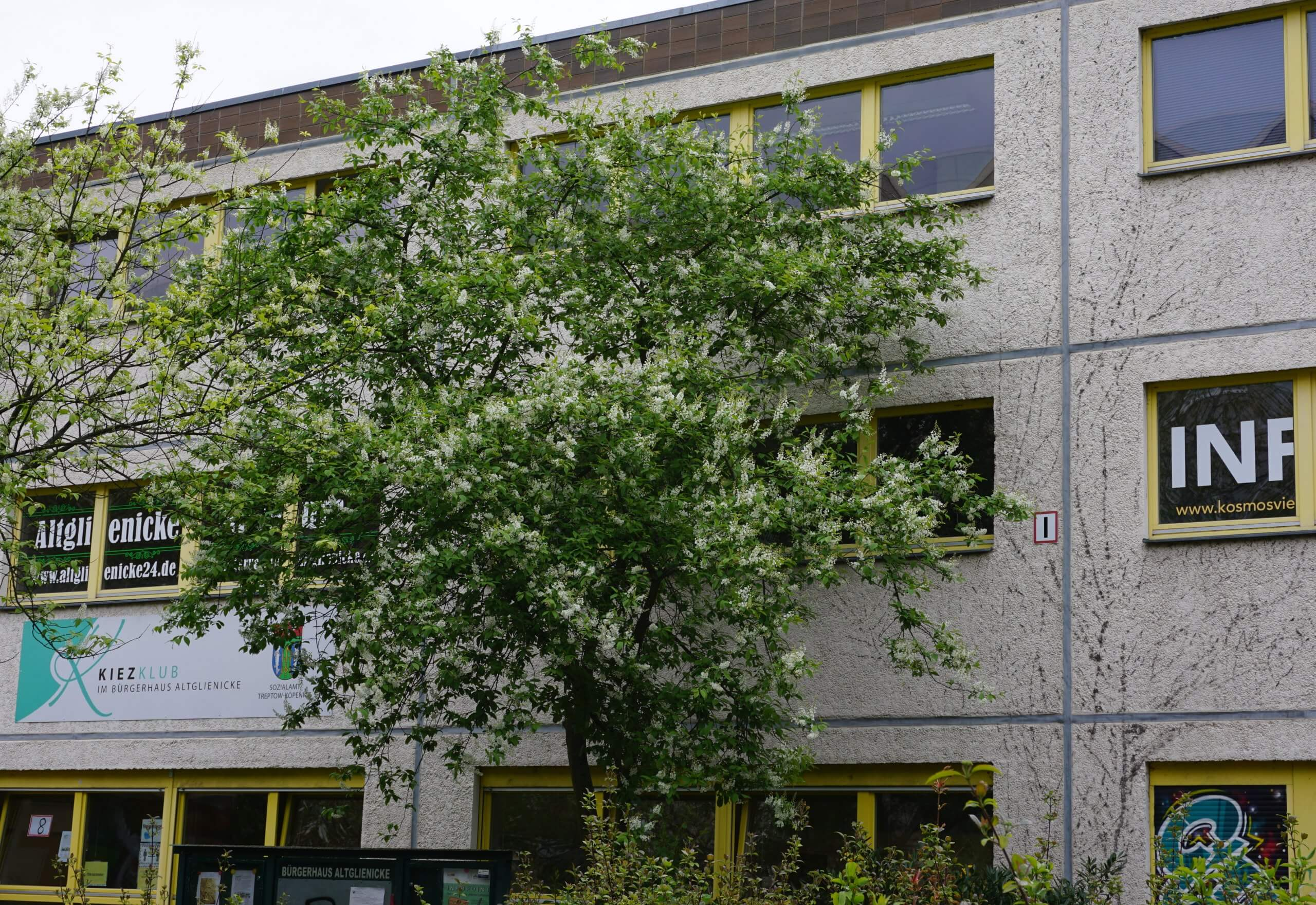Das Bild zeigt eine blühende Gewöhnliche Traubenkirsche Anfang Mai 2021 vor der Fassade des Bürgerhauses im Kosmosviertel in Altglienicke-Süd.