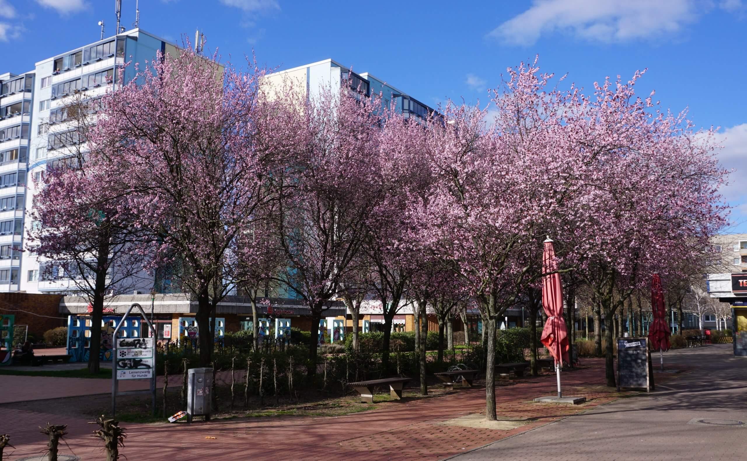 Das Bild zeigt rosafarben blühende Japanische Zierkirschen, die sich bei sonnigem Wetter eindrucksvoll vom Blau des Himmels abheben, hier im März 2020 in der zentralen Ladenpassage des Kosmosviertels.