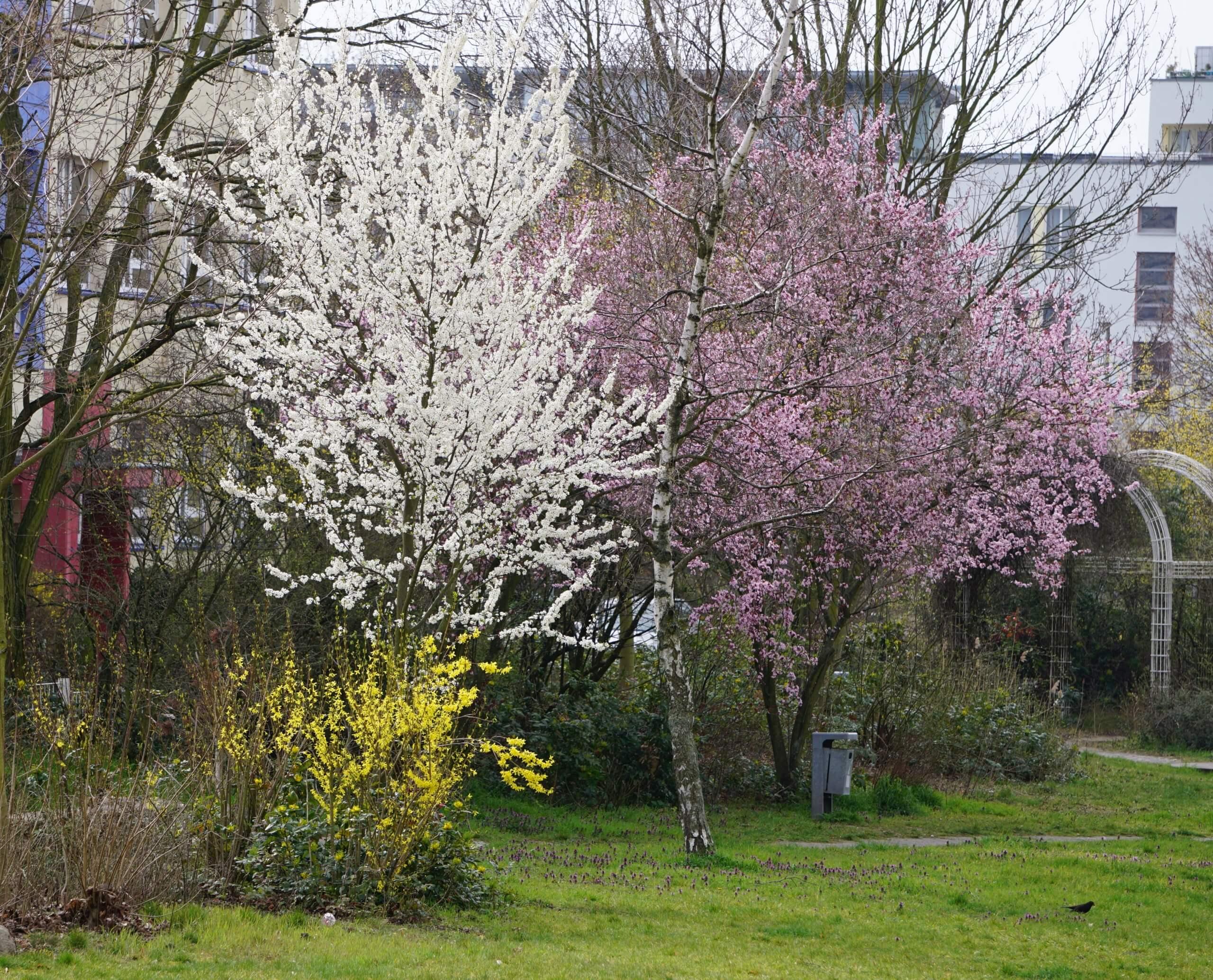Das Bild zeigt die im Frühjahr bunt erscheinende Natur, die dies vor allem Frühblühern verdankt, die kurz vor dem Laub-Austrieb ihre Blüten öffnen, darunter verschiedene Kirschen-Arten wie die Zierkirsche und die gelb blühende Forsythie. Hier im Kosmosviertel in der Grünanlage am Anne-Frank-Gymnasium.