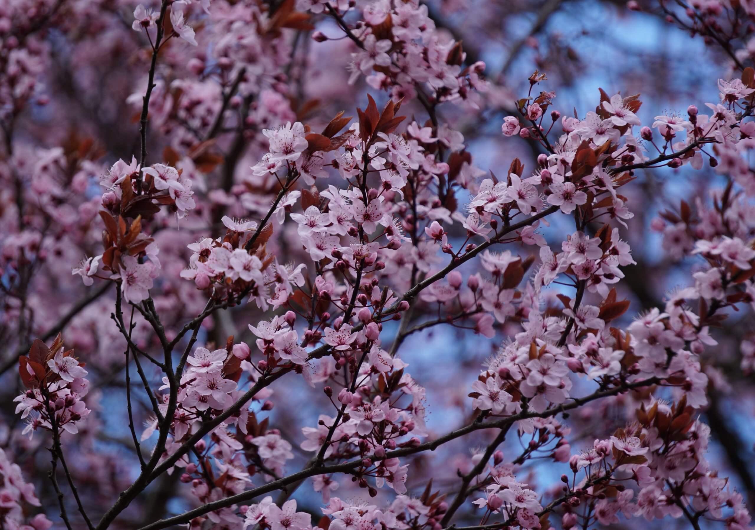Das Bild zeigt die Zweige einer Japanischen Zierkirsche mit leicht rosafarbenen Blüten im Kosmosviertel, April 2021.
