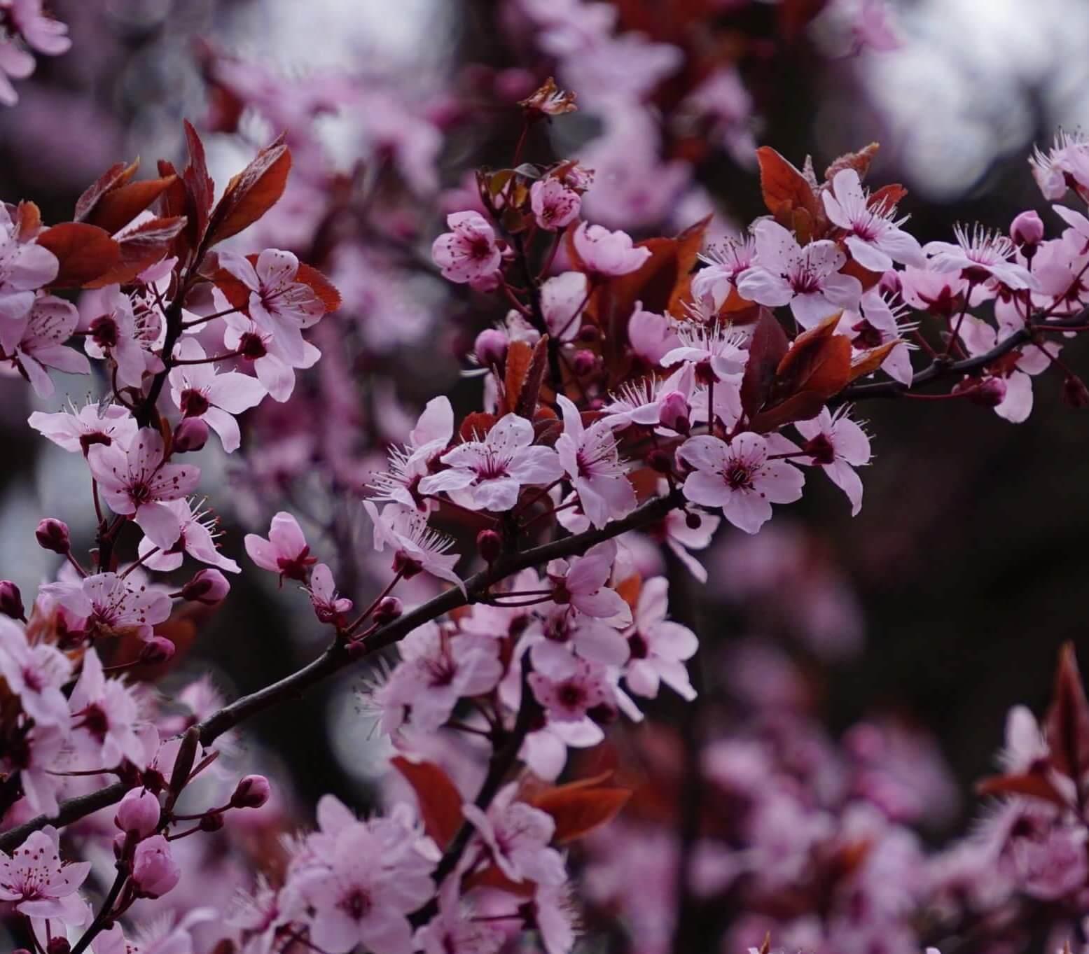 Das Bild zeigt die weiß-rosafarbenen Blüten an einer Japanischen Zierkirsche im Kosmosviertel. Die Blüten sind im Gegensatz zu den Zuchtsorten mit dicht gefüllten Blüten einfach und nur mit fünf Kronblättern ausgestattet.