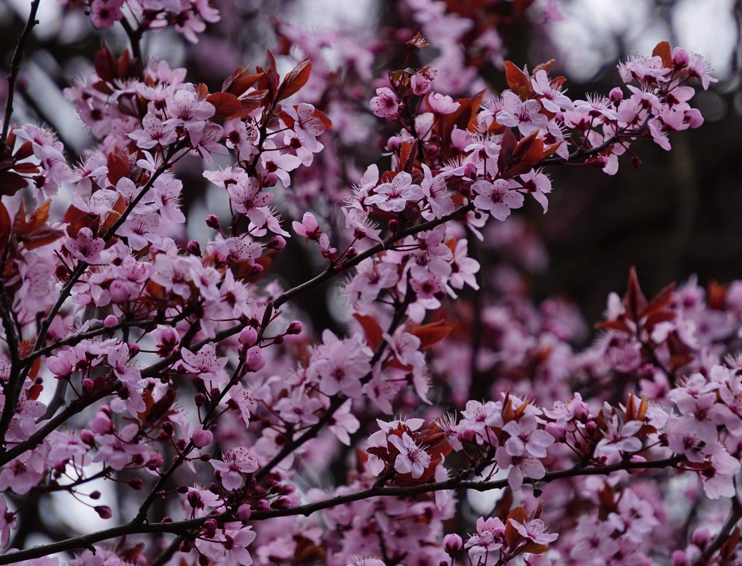 Das Bild zeigt die geöffneten und noch geschlossenen Blüten einer weiß-rosafarben blühenden Japanischen Zierkirsche im Kosmosviertel. Hier Anfang April 2021.