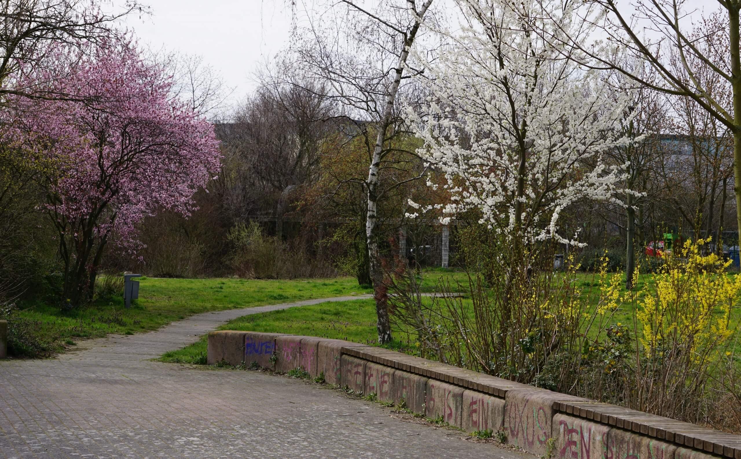Das Bild zeigt weiß- und rosafarben blühende Zierkirschen, kombiniert mit den gelb blühenden Forsythien, in der park-ähnlichen Grünanlage im Süden des Kosmosviertels.