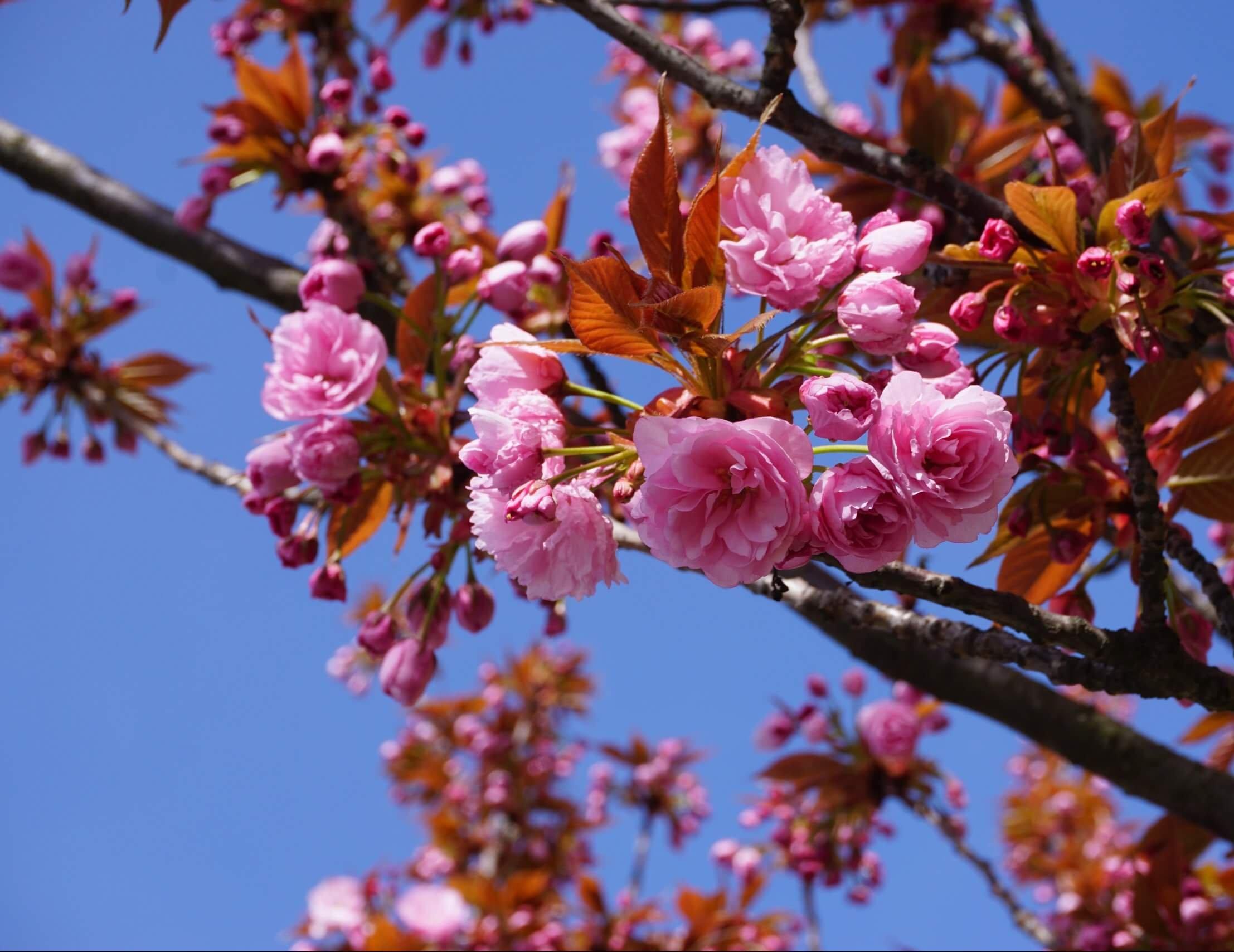 Das Bild zeigt eine Sorte einer Grannenkirsche mit rosafarbenen gefüllten Blüten, die sich hier an einem Baum in der Müggelheimer Straße in der ersten Aprilhälfte 2020 öffnen. Die zahlreichen Blütenblätter sind rosettenartig angeordnet und dicht stehend.