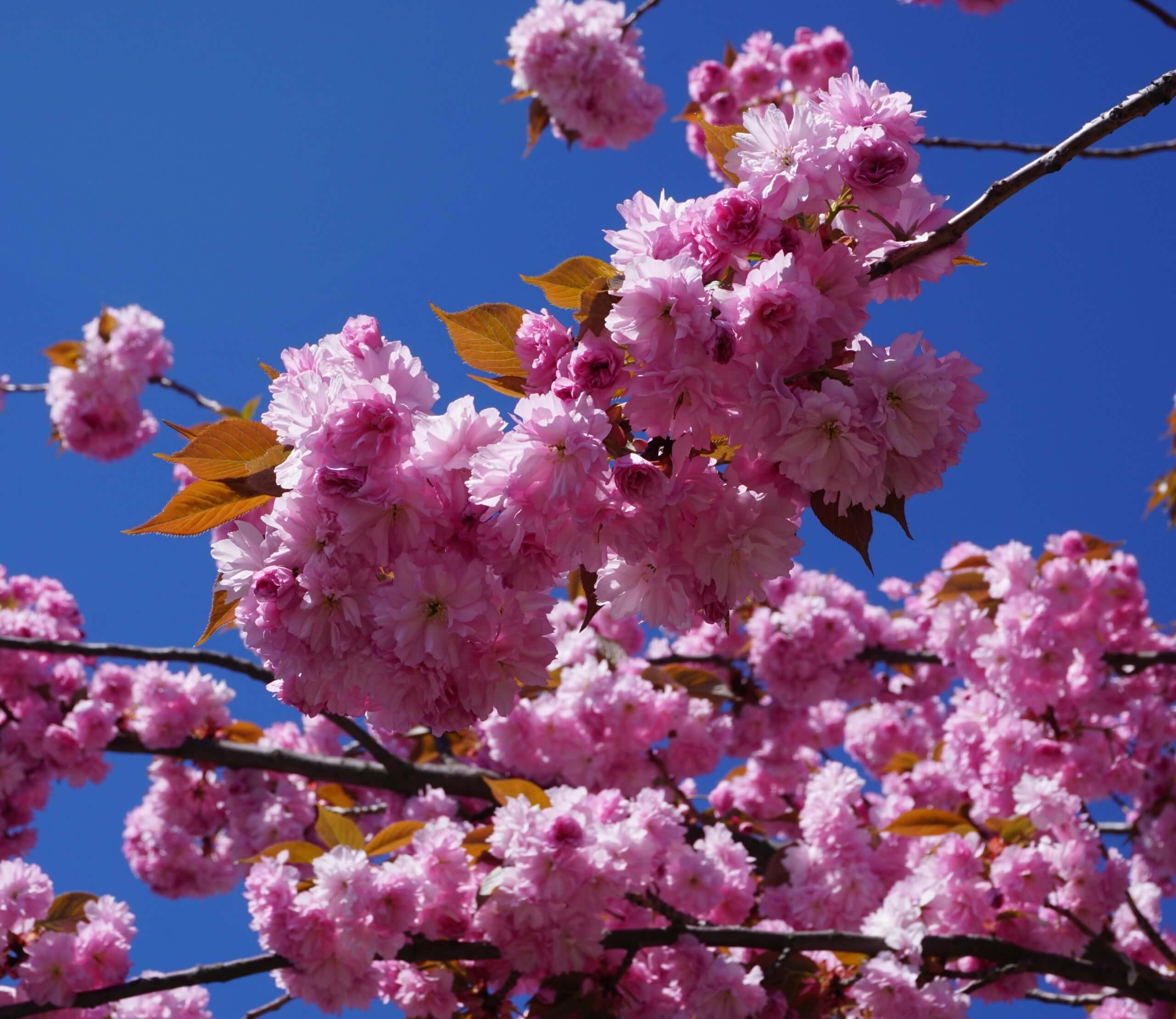 Das Bild zeigt die dicht stehenden und voll geöffneten Blüten an einer Grannenkirsche mit rosafarbenen gefüllten Blüten. Hier an einem Baum in der Müggelheimer Straße, Köpenick, April 2020.