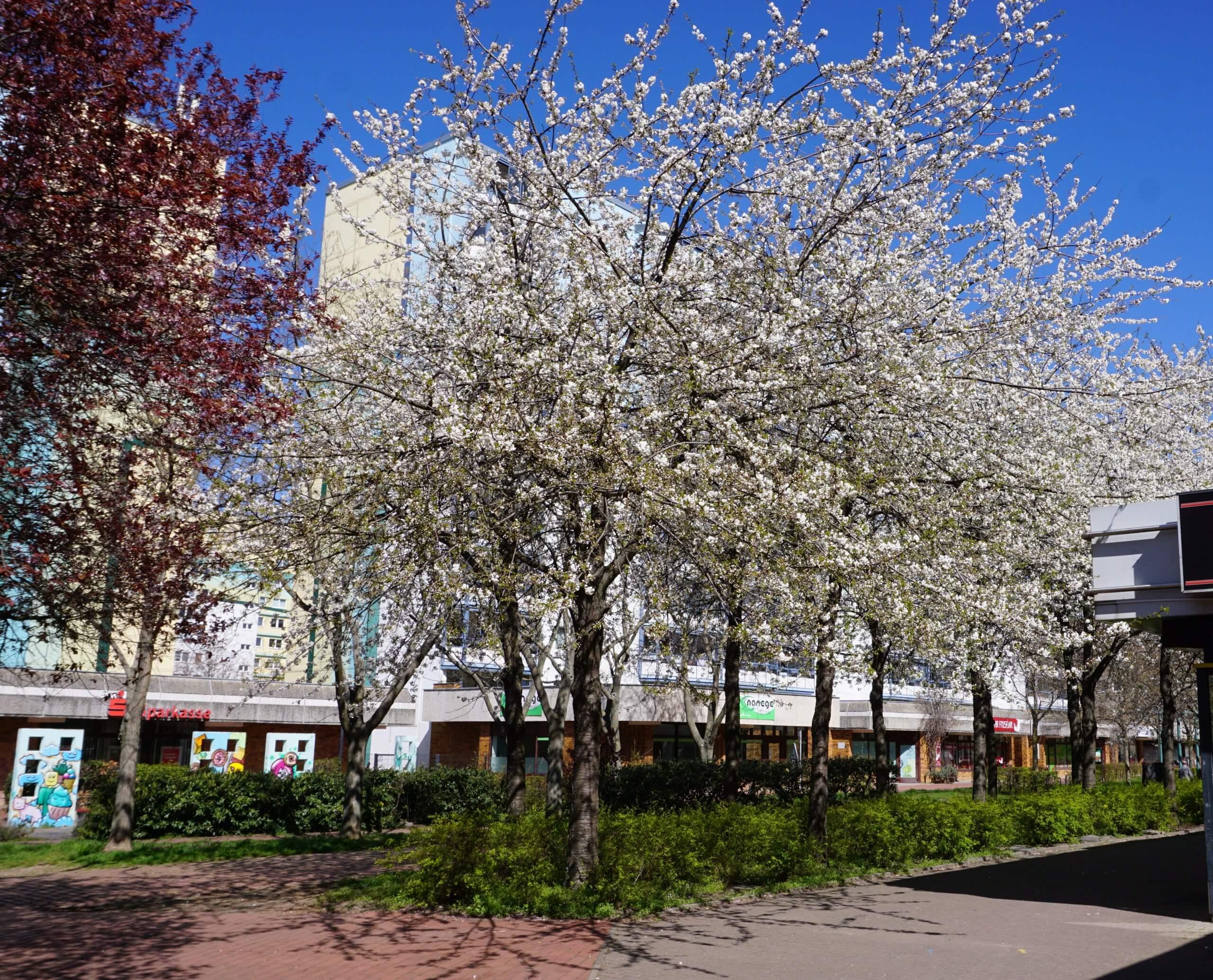 Das Bild zeigt eine Baumgruppe aus weißblühenden Grannenkirschen bzw. Japanischen Blütenkirschen in der zentralen Ladenpassage des Kosmosviertels, Ende April 2021.
