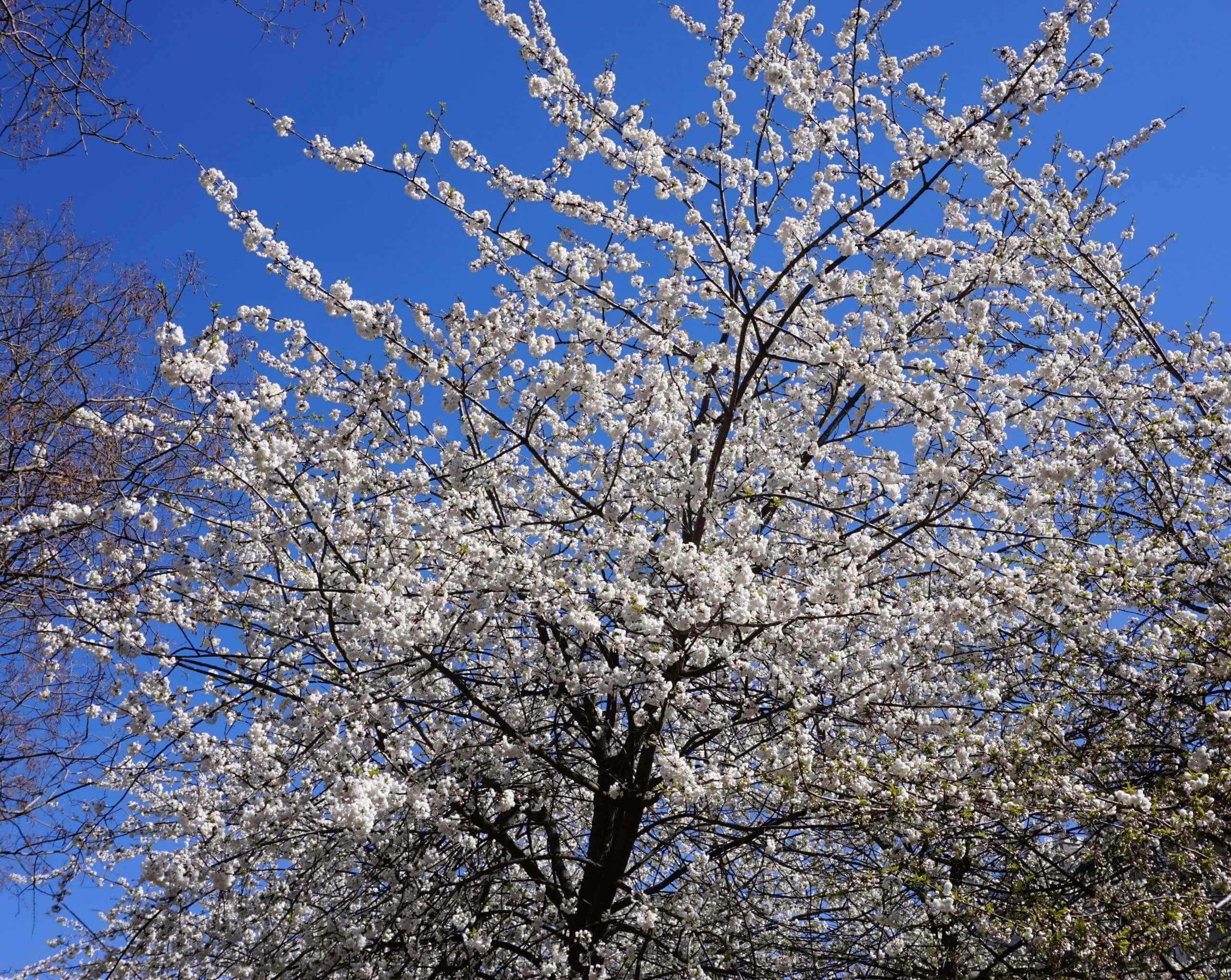 Das Bild zeigt eine dicht mit gefüllten weißen Blüten besetzte Krone einer Grannenkirsche bzw. Japanischen Blütenkirsche im Kosmosviertel, April 2021.