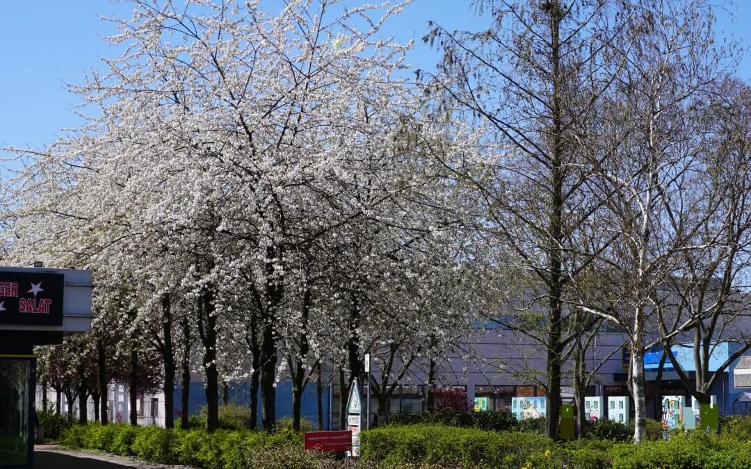 """Japanische Blütenkirsche (Grannenkirsche) / Projekt """"Natur im Kosmosviertel"""""""