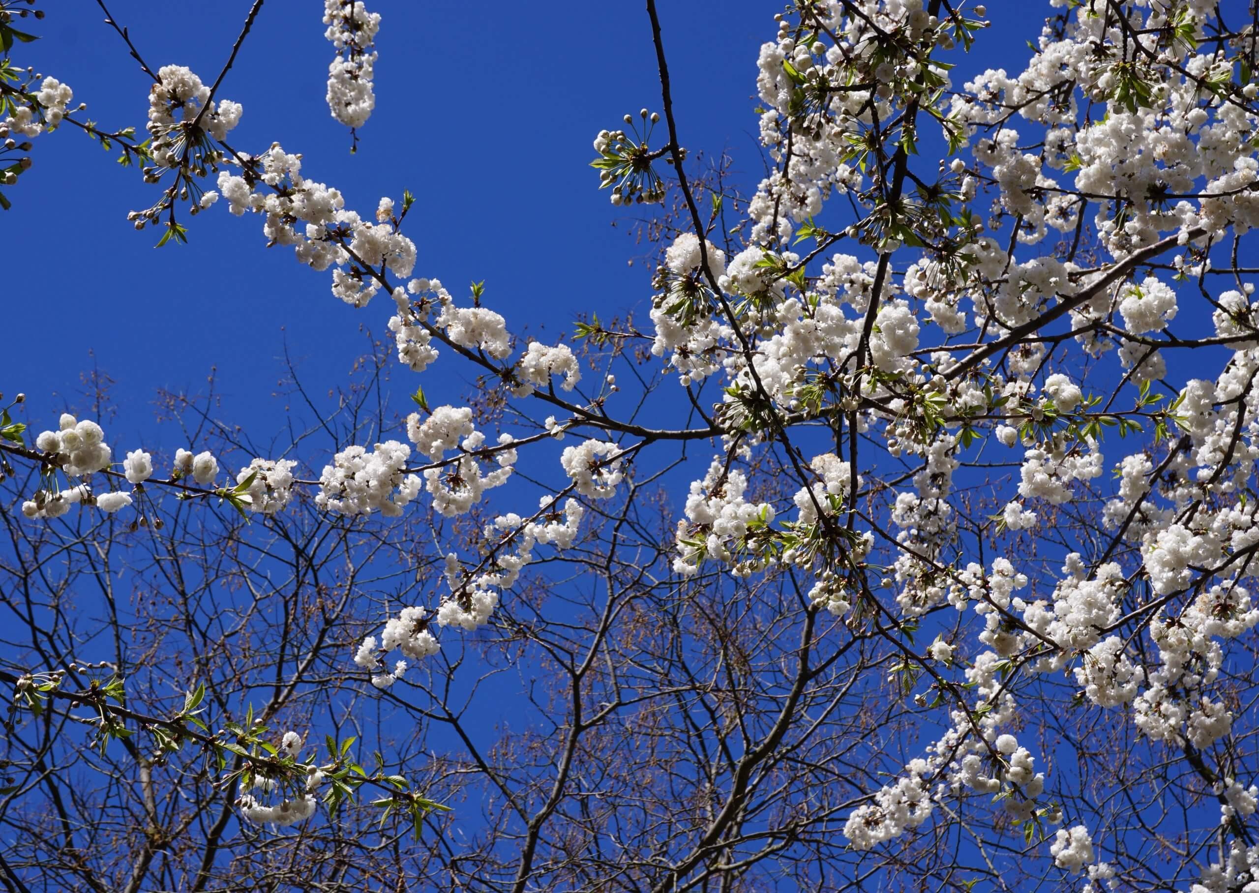 Das Bild zeigt die besonders im Kontrast zu einem blauen Himmel sehr attraktiv zur Geltung kommenden Blüten der Grannenkirsche. Hier an einem weißblühenden Baum im Kosmosviertel, April 2021.