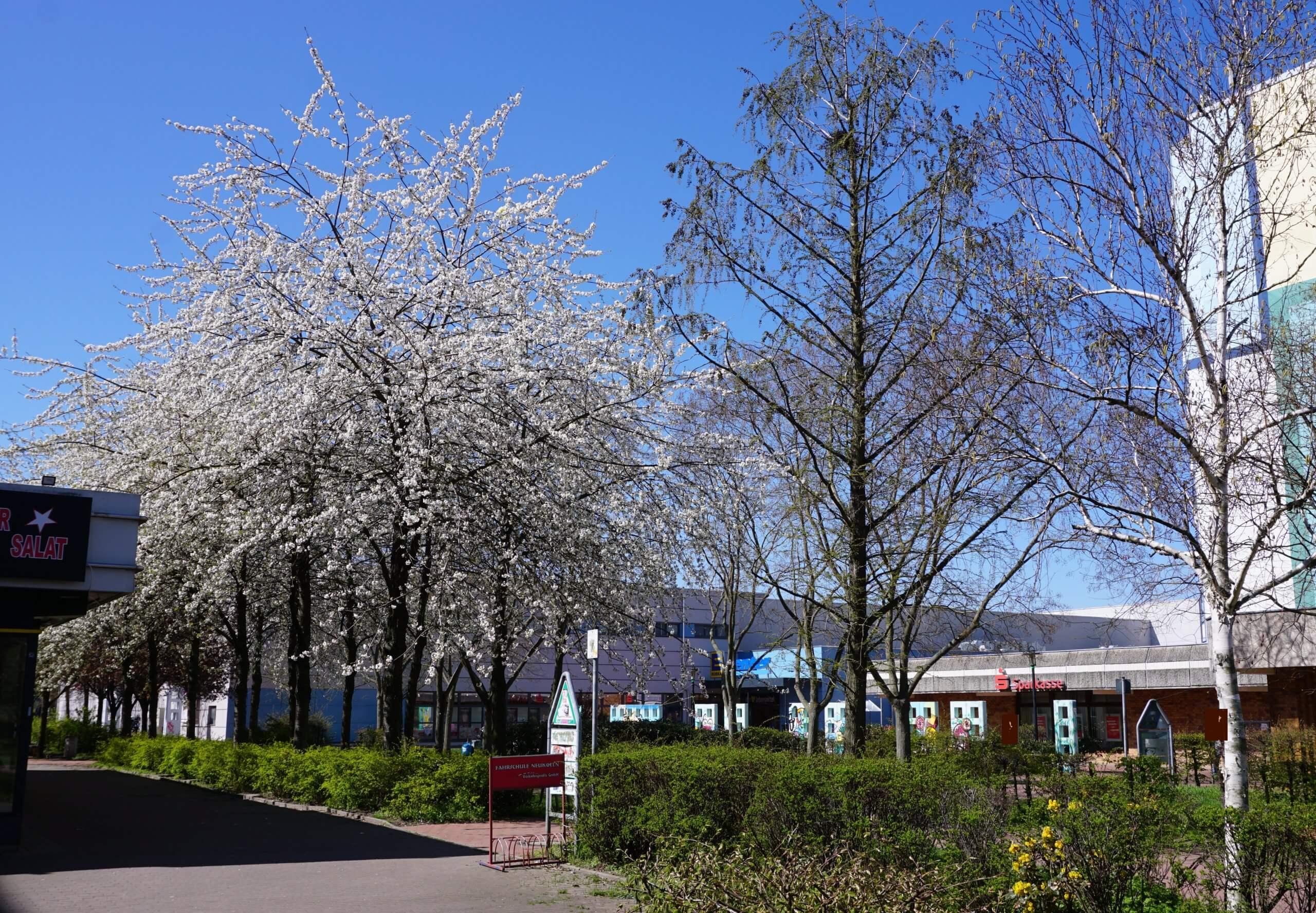 Das Bild zeigt ein Areal mit schneeweiß blühenden Grannenkirschen in der zentralen Ladenpassage des Kosmosviertels, einer Japanischen Zierkirsch-Sorte mit gefüllten Blüten. Hier zur Blütezeit Anfang Mai 2021.