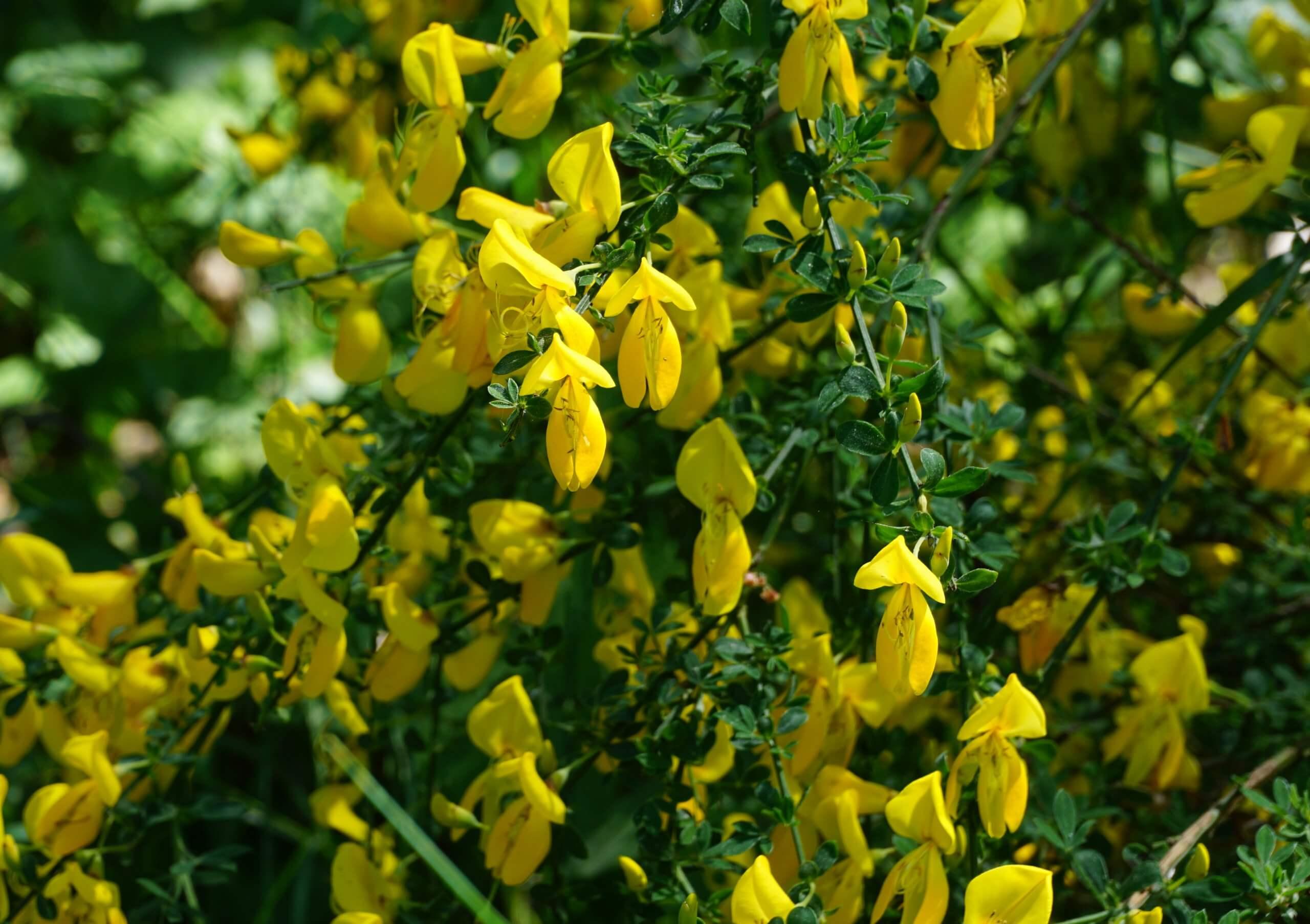 Das Bild zeigt einen Abschnitt eines in der Blüte stehenden Besenginsters. Die Blüten sind satt gelb und leuchten im Sonnenlicht. Hier an einem krautigen Strauch im Müggelwald, Ende Mai 2021.