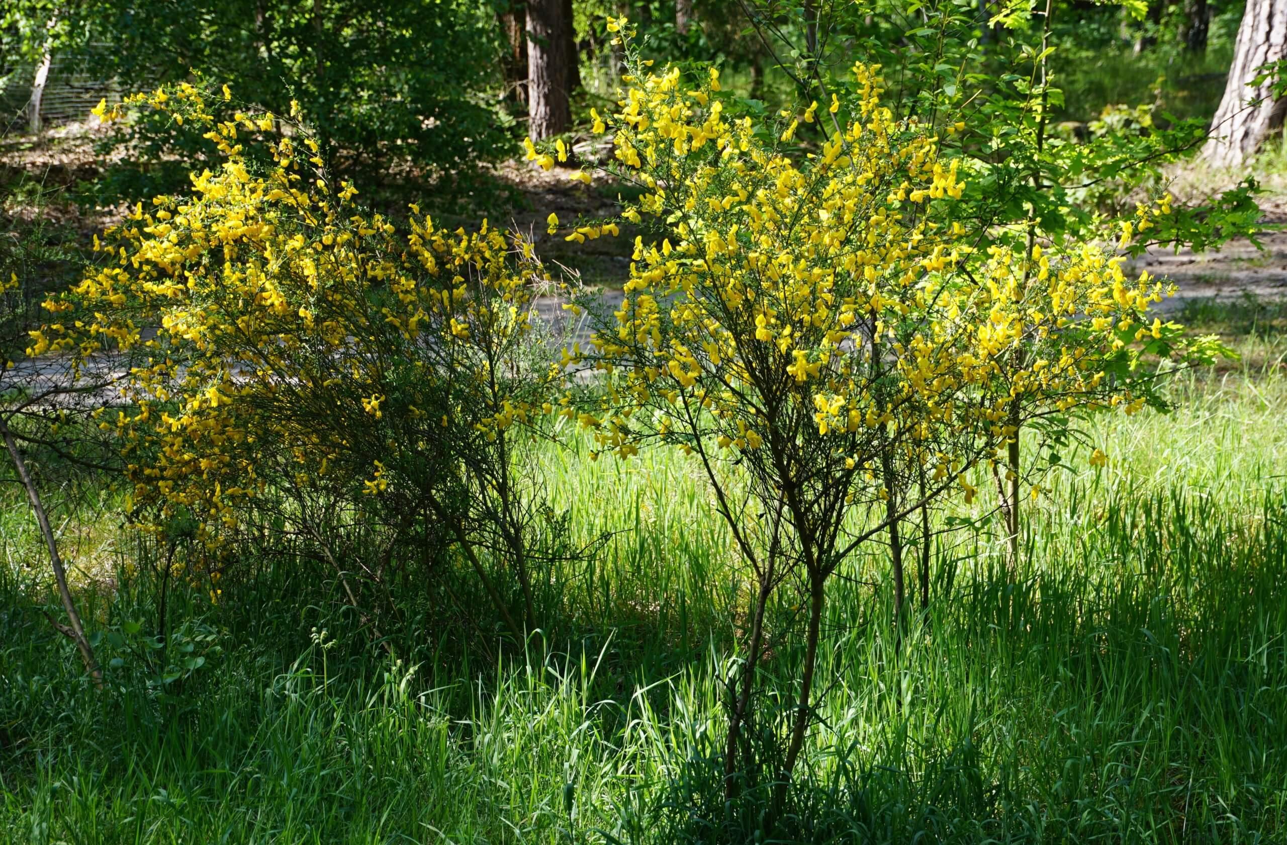 Das Bild zeigt krautige Sträucher des Besenginsters auf einem lichten Streifen, der einer Brunnengalerie folgt. Das Areal befindet sich zwischen Langem See und Müggelberge. Hier zur Blüte Ende Mai 2021.