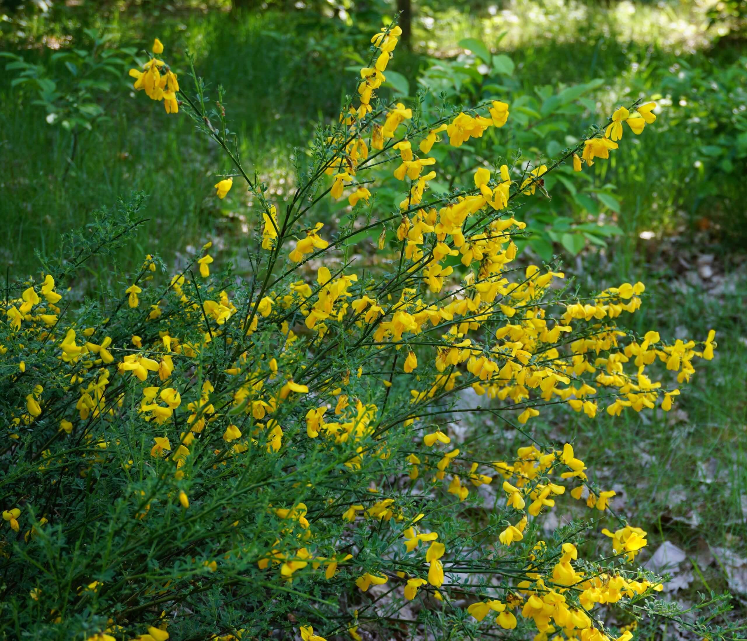 Das Bild zeigt die sattgelben Schmetterlingsblüten des aus der Krautschicht ragenden Besenginsters. Sie sind ab der zweiten Mai-Hälfte ein Hingucker in lichten Arealen einiger Abschnitte der Berliner und Brandenburger Wälder.