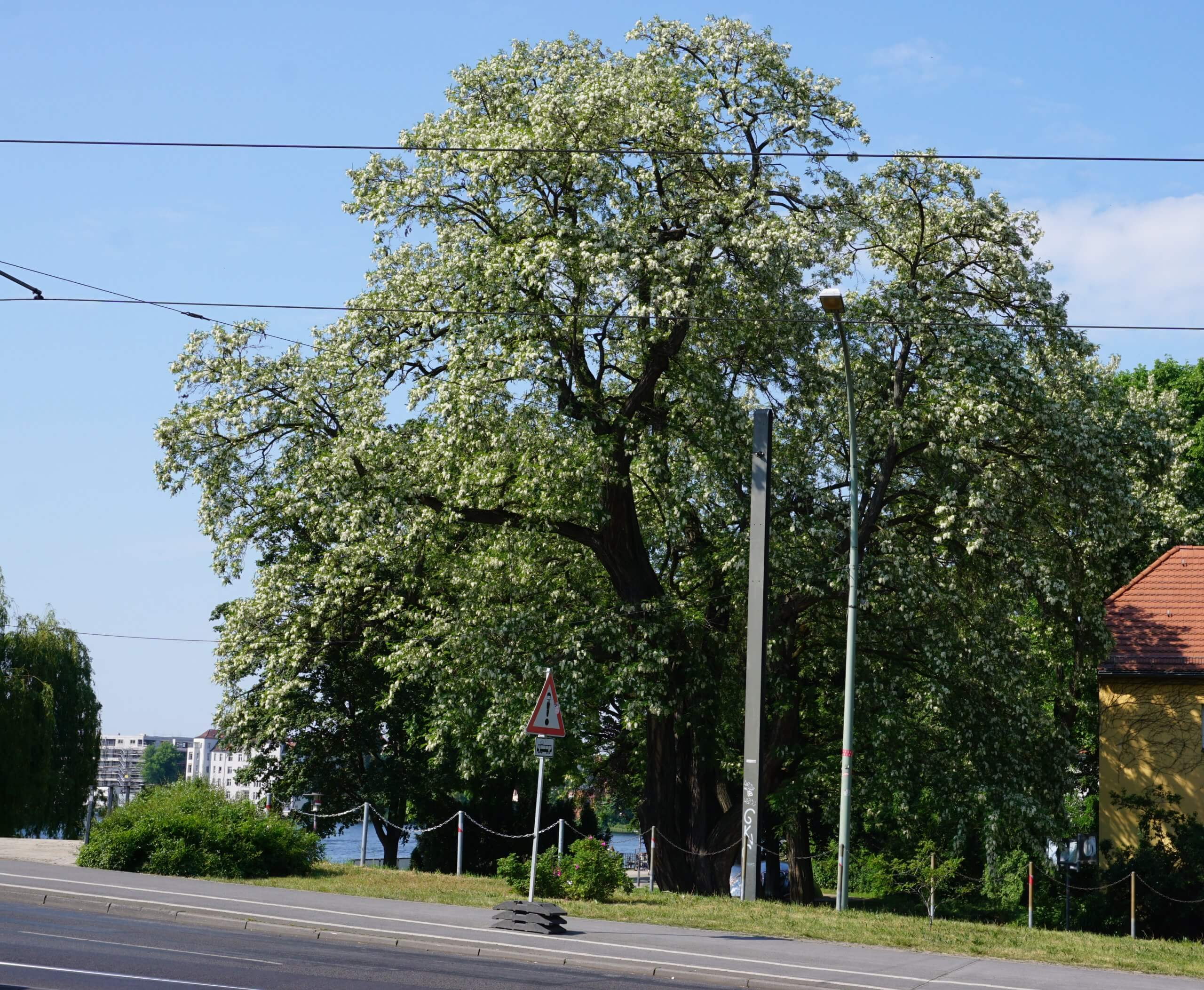 Das Bild zeigt ein stattliches Exemplar einer Robinie als Stadtbaum. Dieser, an einem gut belichteten Standort sich befindliche Baum zeigt eine kugelförmige Krone. Hier an der Langen Brücke über die Dahme an der Altstadtseite von Köpenick, Juni 2021.