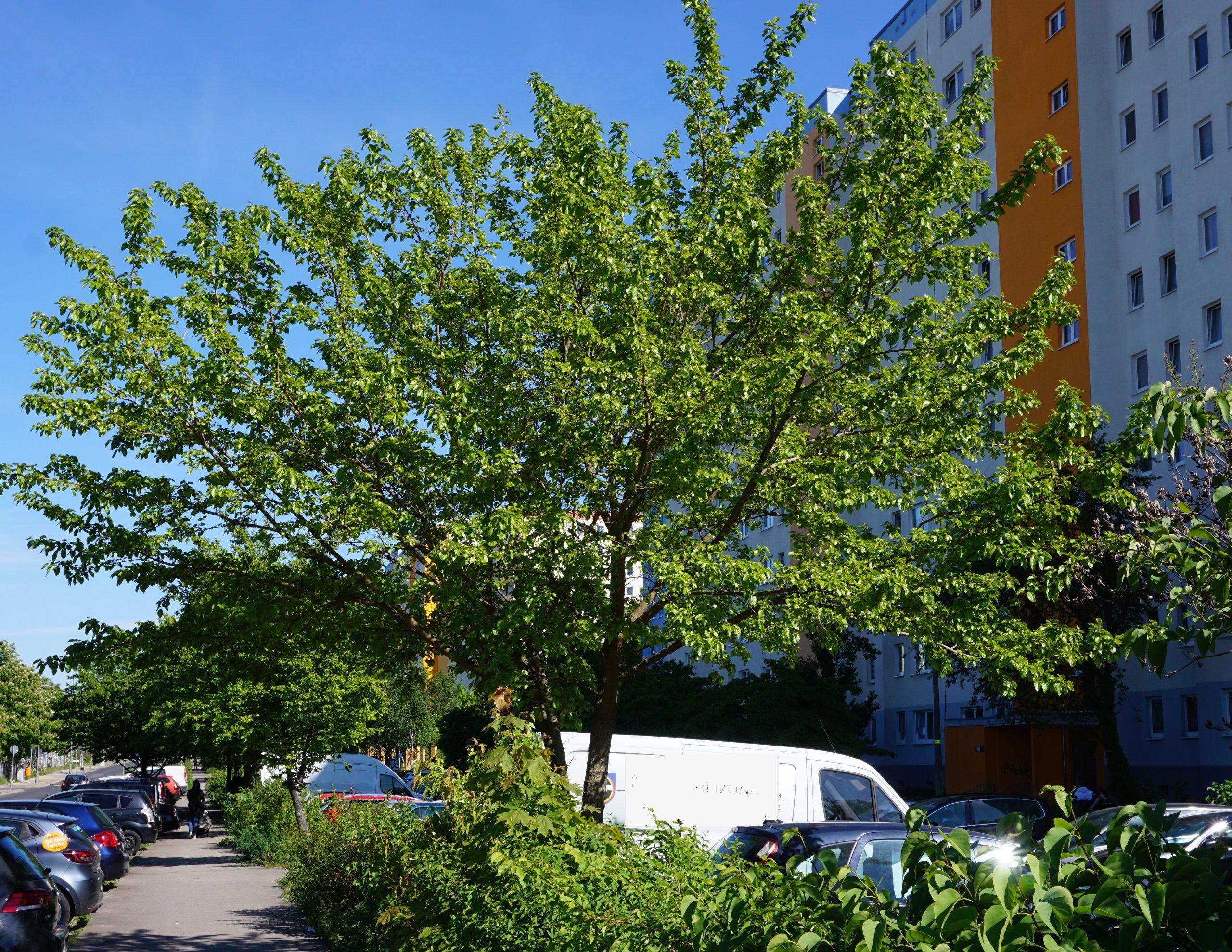 Das Bild zeigt ein noch junges Exemplar eines Weißen Maulbeerbaumes an der Venusstraße im Kosmosviertel. Hier im Mai 2021.