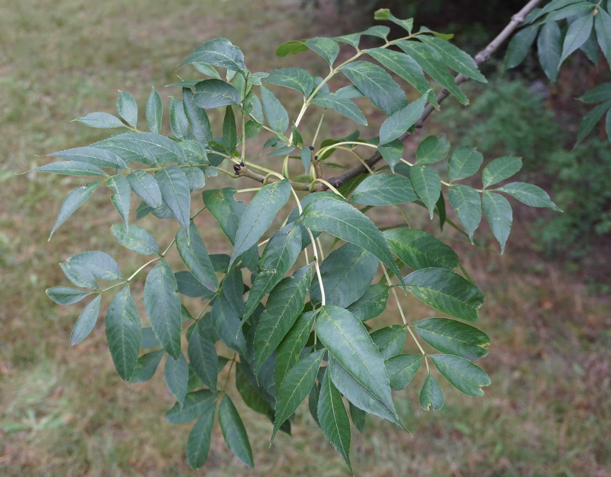 Das Bild zeigt die recht langen, an den Zweigen gegenständig ansitzenden Fiederblätter. Sie sind zweizeilig mit 9-13 Fiederblättchen versehen, wobei sich ein Blatt an der Sitze befindet.