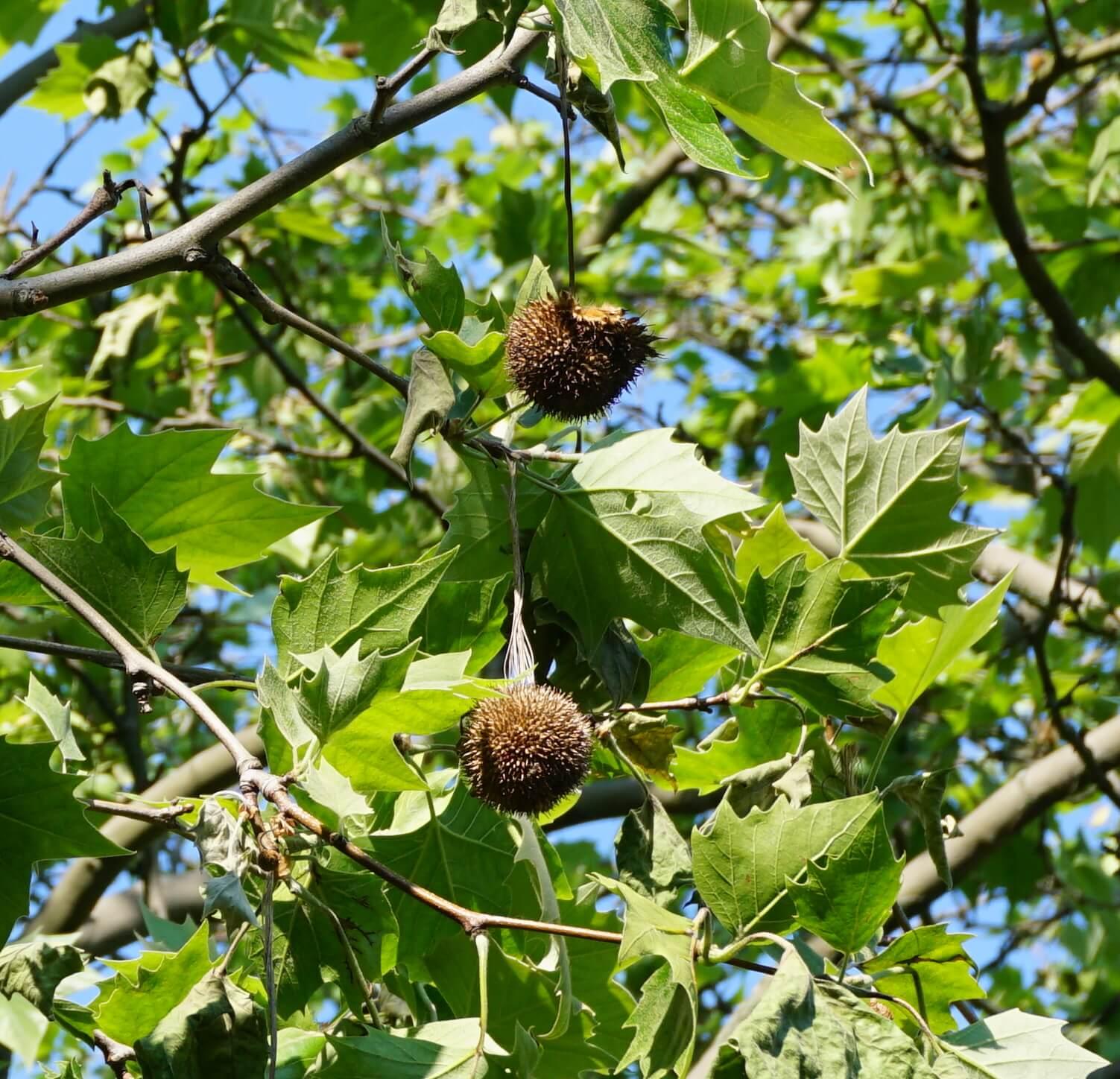 Das Bild zeigt die kugelförmigen Fruchtstände der Platane, bestehend aus zahlreichen, dicht sitzenden Nüsschen, die am Grund mit borstigen Haarbüscheln besetzt sind. Die scheinbare Stacheligkeit der Oberfläche rührt von verbleibenden Griffeln der ehemaligen Blüten her.