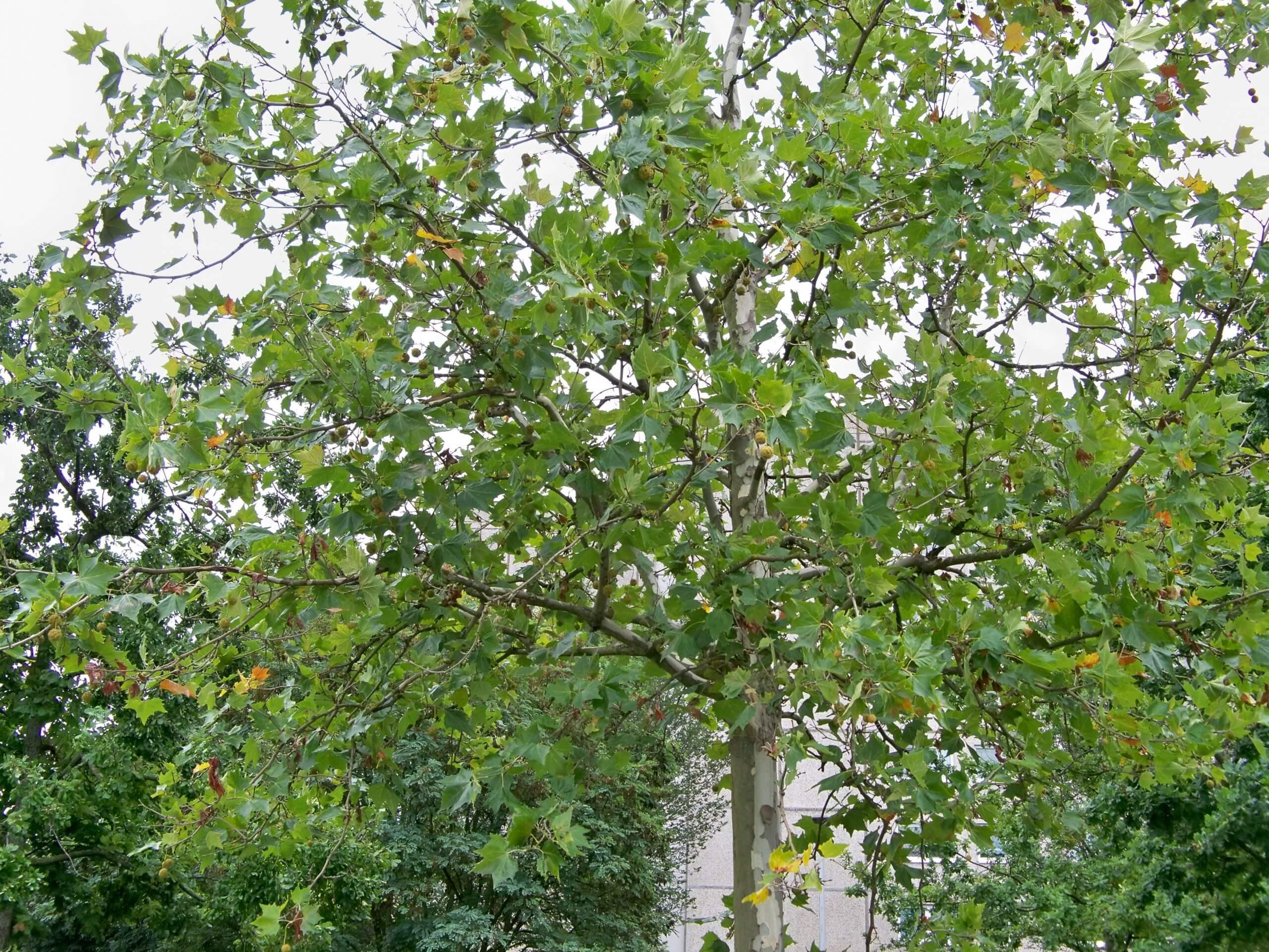 Das Bild zeigt einen Ausschnitt der Krone einer Platane an der Schönefelder Chaussee am Kosmosviertel. Die an Stielen hängenden kugeligen Fruchtstände sind zu erkennen. Hier im August 2021.
