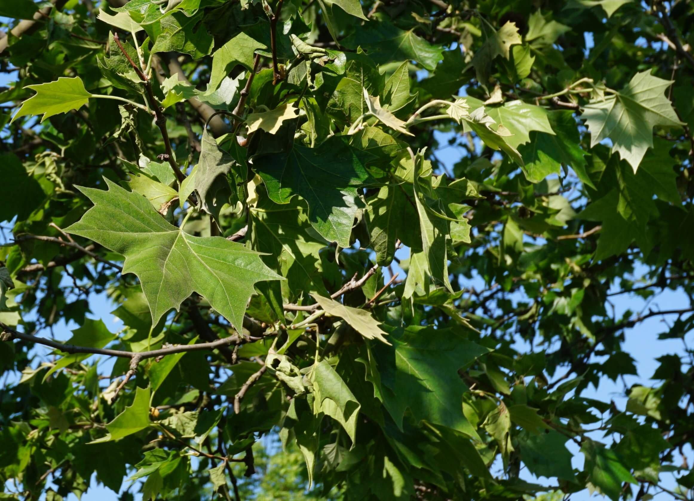 Das Bild zeigt die Laubblätter der bei uns am häufigsten zu sehenden Platane. Sie zeigen in ihrer Form große Ähnlichkeiten zu den Blättern des Spitz-Ahorns. Die Blätter der Platane sind jedoch im Schnitt größer und derber. Hier an einem Baum am Schloßplatz Köpenick.